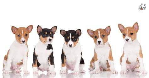 basenji puppies for sale basenji puppies for sale puppies 4 all
