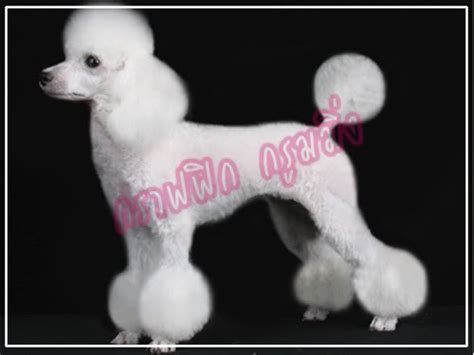 exles of poodle cuts styles poodle5 jpg photo this photo was uploaded by mikica 01