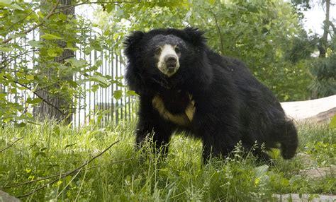 sloth bear smithsonian s national zoo