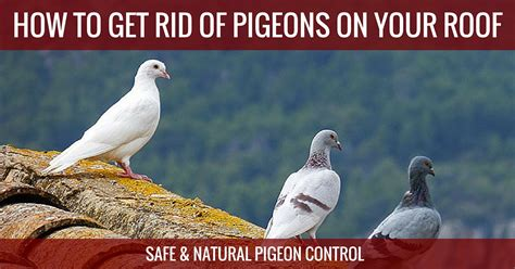 how to get rid of birds in backyard how to get rid of pigeons here s the best pigeon repellent