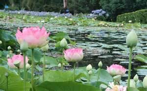 Lotus Planting Lotus Plants