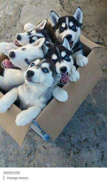 order puppies de 25 bedste id 233 er inden for husky p 229 husky hvalp hunde og hundehvalpe