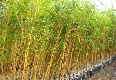 Jual Bibit Bambu Kuning Jogja jual bibit unggul murah kualitas terbaik ready stock