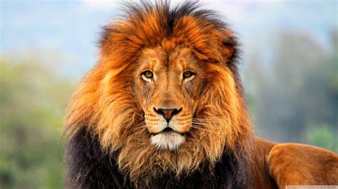google images lion just stuff save the lion