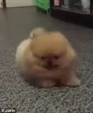 how to your pomeranian not to bark shows pomeranian puppy s attempt at angry bark in thailand backfires daily