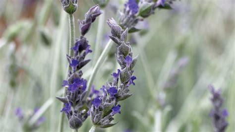 Lavender Creek drought tolerant container plants sunset