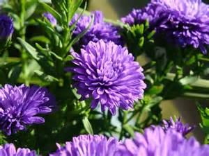 purple mums wedding flower ideas pinterest
