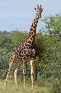 elegante girafe