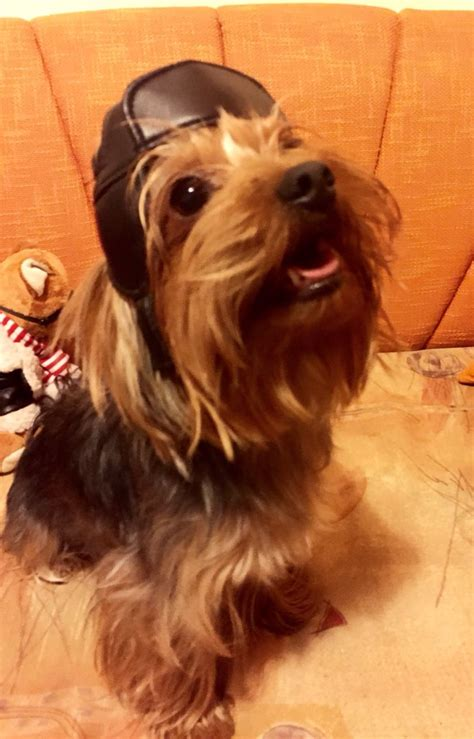chewbacca yorkie 63 best images about yorkie on travel products yorkie and beds