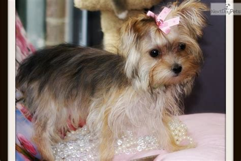 teacup yorkies in virginia biewer puppy for sale near hton roads virginia 6dffc3b4 c1d1