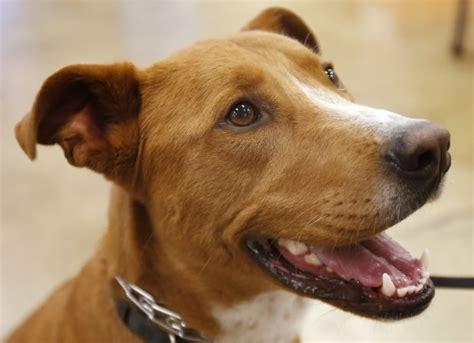 shelter tucson meet boston tucson shelter looks for forever home pets animals tucson