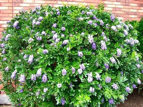 shrubs for shade zone 6 shade tolerant shrubs flowering shrubs for shade gardens shade tolerant shrubs in