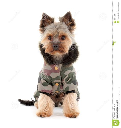 yorkie terrier clothes terrier in winter clothes stock image image 22244841