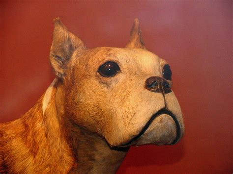 Sergeant Stubby Taxidermy Ohmidog Doberman Pinschers Archives Ohmidog