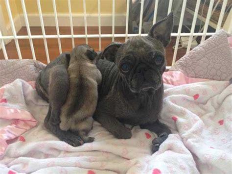 mange in pugs mites turn overbred pug s skin black huffpost