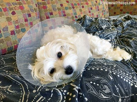when to get puppy spayed why i spayed my