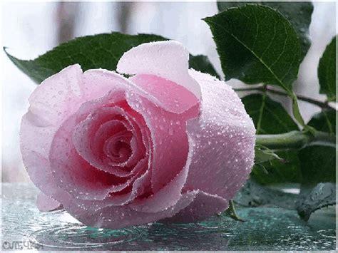 imagenes de rosas hermosas con movimiento rosas hermosas im 225 genes bellas 2
