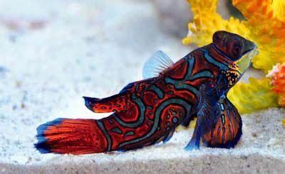 Pakan Ikan Hias Manfish cara budidaya ikan hias manfish sentra peternakan