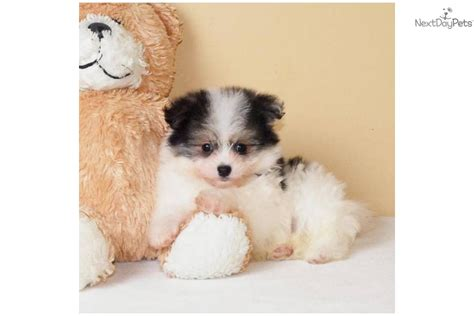 maltipom puppies meet michael a malti pom maltipom puppy for sale for 395 teacup michael www