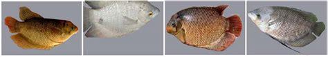 Umur Bibit Ikan Gurame bibit ikan gurame