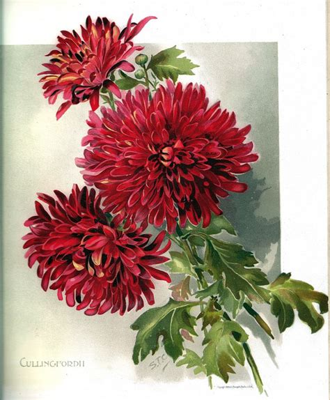 white chrysanthemum books cullingford ii 7th color floral plate from the book