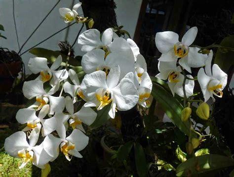 panduan lengkap budidaya tanaman hias bunga anggrek