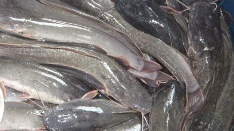 Jual Bibit Lele Di Aceh jual ikan lele di banda aceh