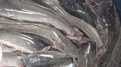 Bibit Ikan Gurame Di Banda Aceh jual ikan lele di banda aceh
