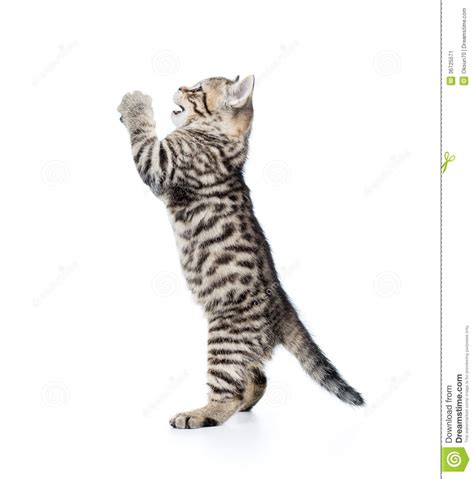 Funny Cat Kitten Standing On Hind Legs Stock Image   Image