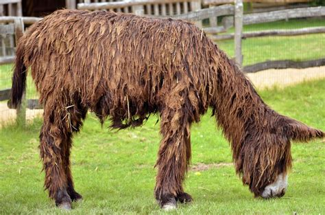 what is the largest breed the poitou the breed in the world pets4homes