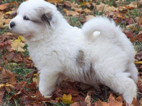 grand pyrenees puppies puppy care center great pyrenees puppy care center and