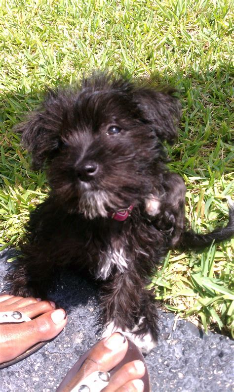 yorkies for sale ta fl morkie for sale adoption from coconut creek florida broward adpost