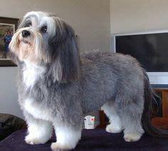 havanese teddy cut 1000 images about havanese haircuts on havanese dogs havanese grooming