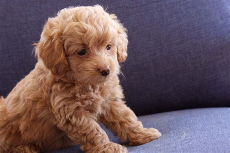 doodle doodle puppies teacup goldendoodle f2b family friendly and only 6 10