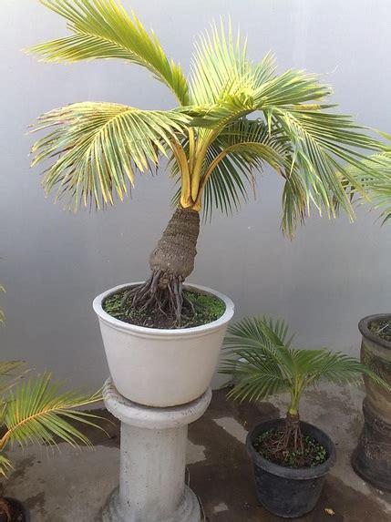 ragam jenis tanaman bonsai  cantik  memiliki