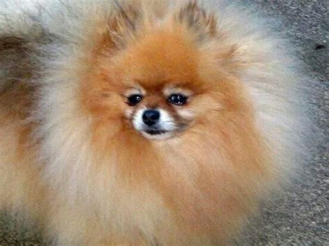 how do pomeranians live 17 best images about dogs on pomeranian dogs pom poms and teacup pomeranian