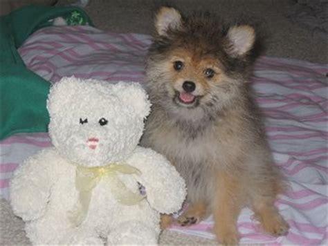 pomeranian poodle mix hypoallergenic pomapoo pomeranian poodle mix info temperament puppies pictures
