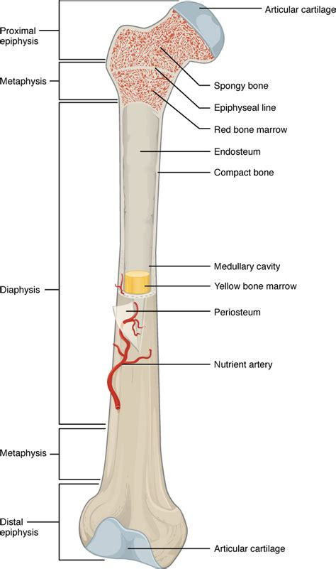 anatomy bones bone structure 183 anatomy and physiology