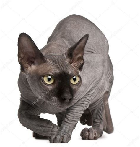 sphynx stock photos sphynx stock sphynx cat 11 months crouching in front of white