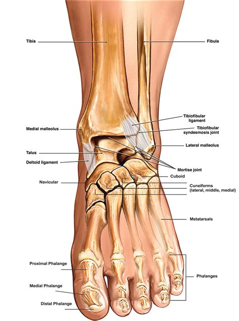 toe diagram toe bones anatomy human anatomy system