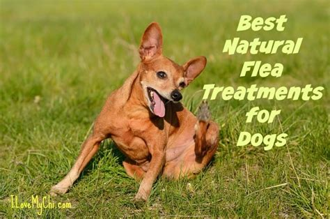 best flea medication for dogs best flea treatments for dogs i my chi