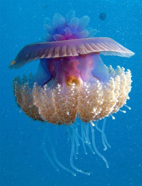 Real Jellyfish L by Real Monstrosities Cauliflower Jellyfish Cephea