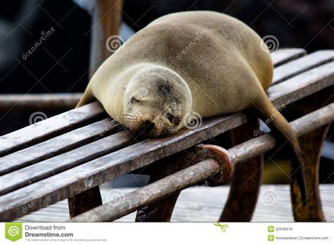 bench latin galapagos sea lion royalty free stock image image 32646616