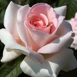 1000 ideas about hybrid tea roses on pinterest heirloom