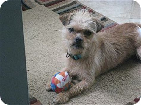 brussels griffon and shih tzu mix ollie adopted 1148 huntsville al brussels griffon shih tzu mix