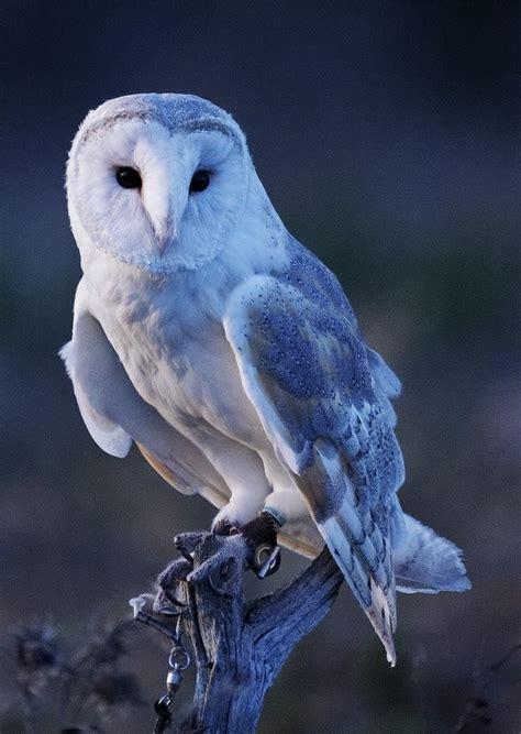 Piyama Owl Blue Piyama Owl barn owl clipart blue owl