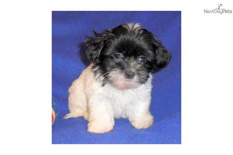 munchkin puppies meet munchkin a mal shi malshi puppy for sale for 400 munchkin mal shi