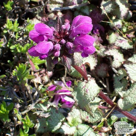 buy lamium maculatum beacon silver dead nettle   uk