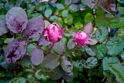rosa d inverno fiore la rosa d inverno flora 2000