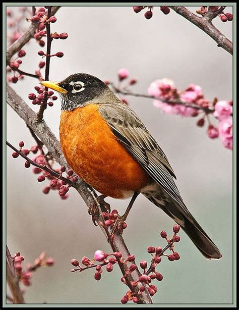 american robin yes one of our most commons birds but